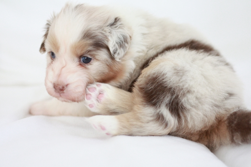 2. RED MERLE GIRL LONG TAIL
