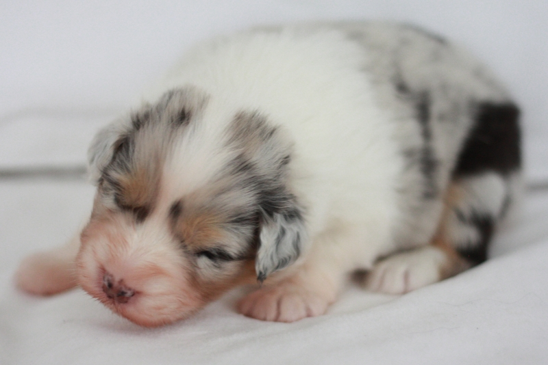 5. BLUE MERLE GIRL NBT